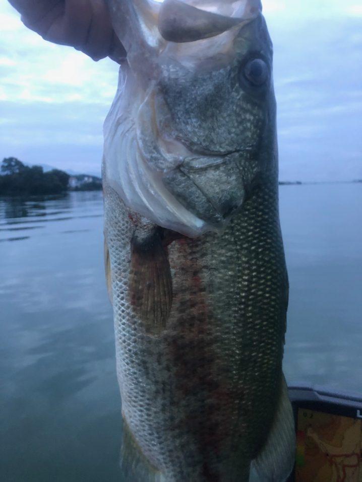 琵琶湖カネカ裏近くのミオ筋で捕獲した50UPの画像