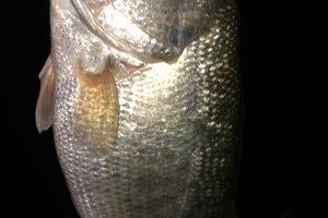 南湖アノストで釣った40UP画像4