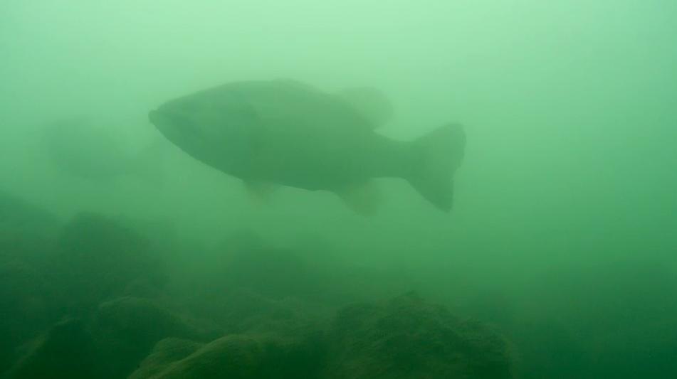 琵琶湖メガミキで釣れる一文字デカバス画像