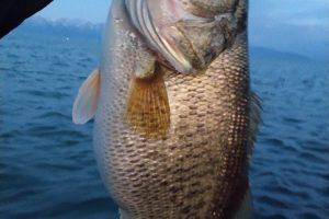 琵琶湖メガミキで釣った4キロフィッシュ画像