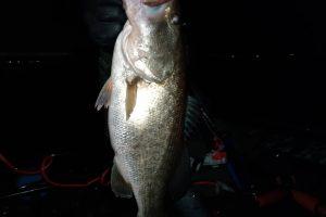 琵琶湖春の北山田ネコリグで釣った45UP