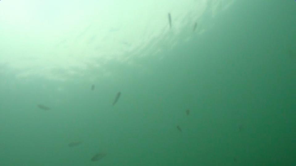 琵琶湖水面近くに浮くベイト