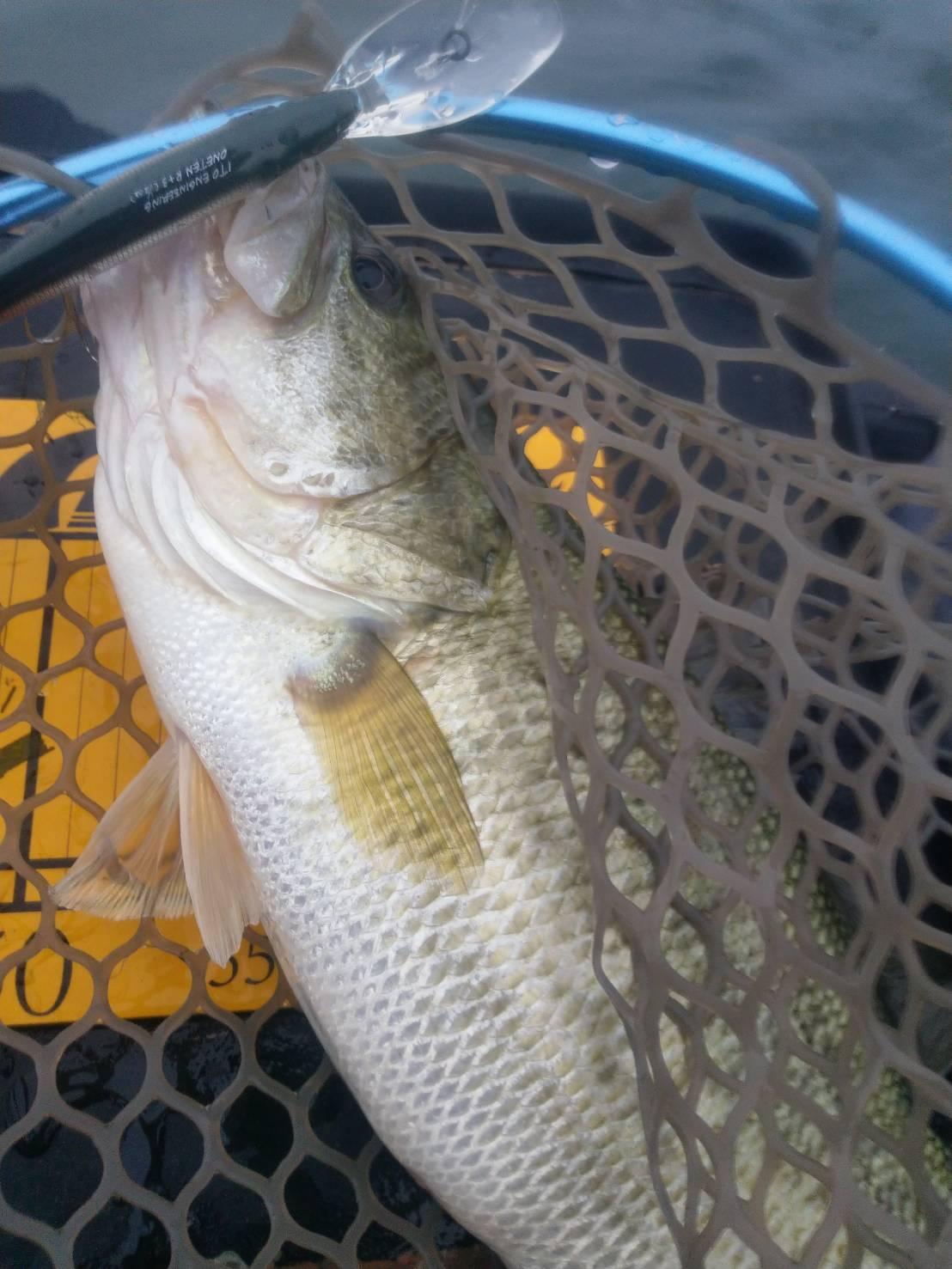 琵琶湖西岸ミノーで釣った40アップ
